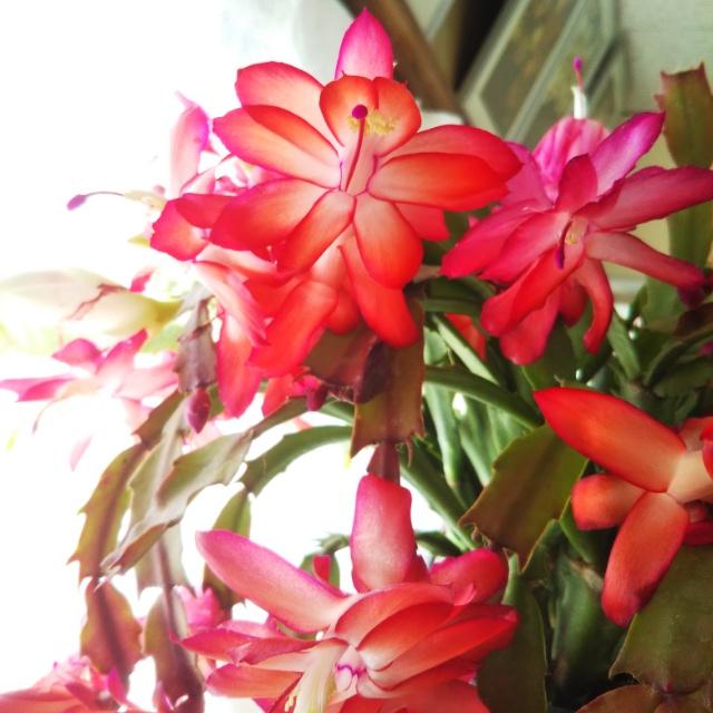 シャコバサボテン各種、開花中♪