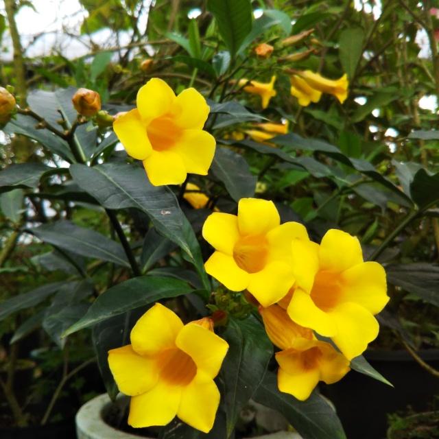 アラマンダ各種、開花中♪