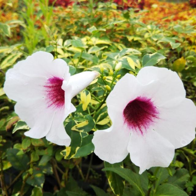 斑入りパンドレア、開花♪