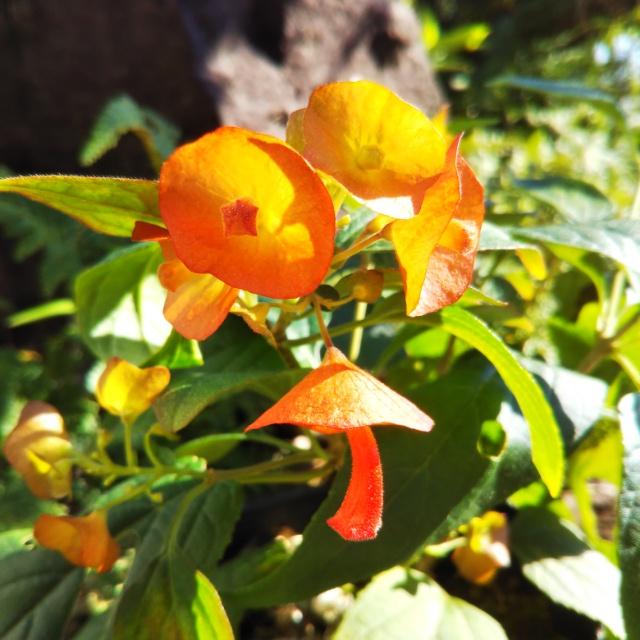 チャイニーズハット、開花♪