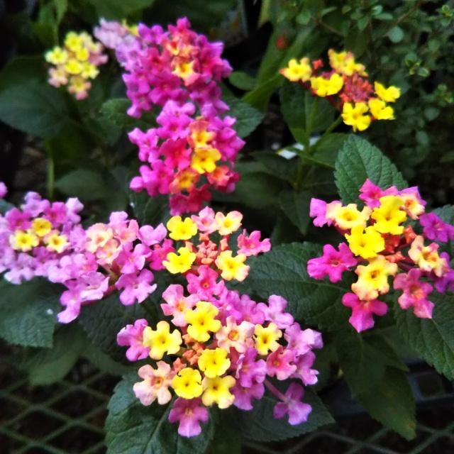 ランタナ各種、開花中♪