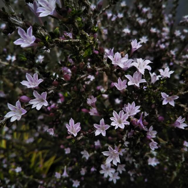 白鳥木各種、開花中♪