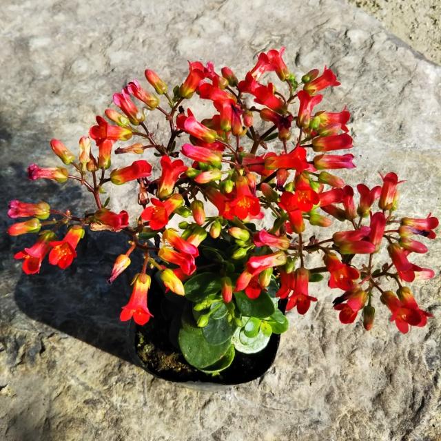 カランコエ各種、開花中♪