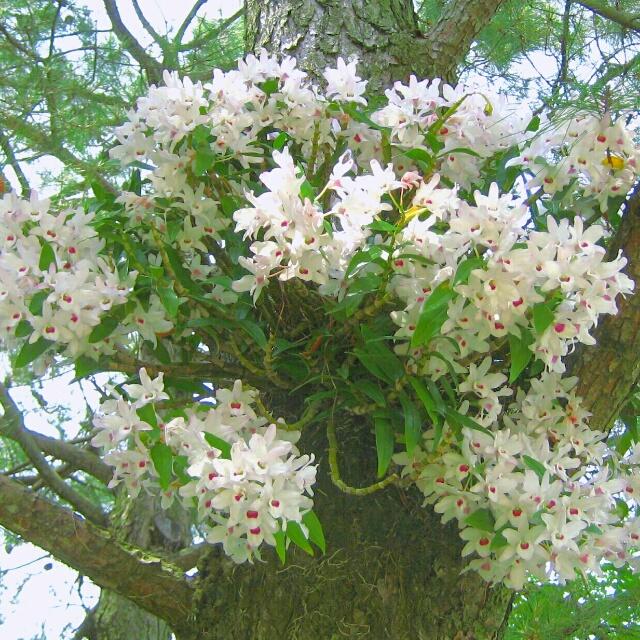 デンドロビューム各種、開花中♪