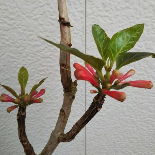 デルマトボトリス、開花中♪