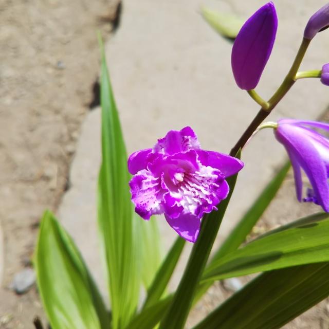紫蘭各種、開花中♪