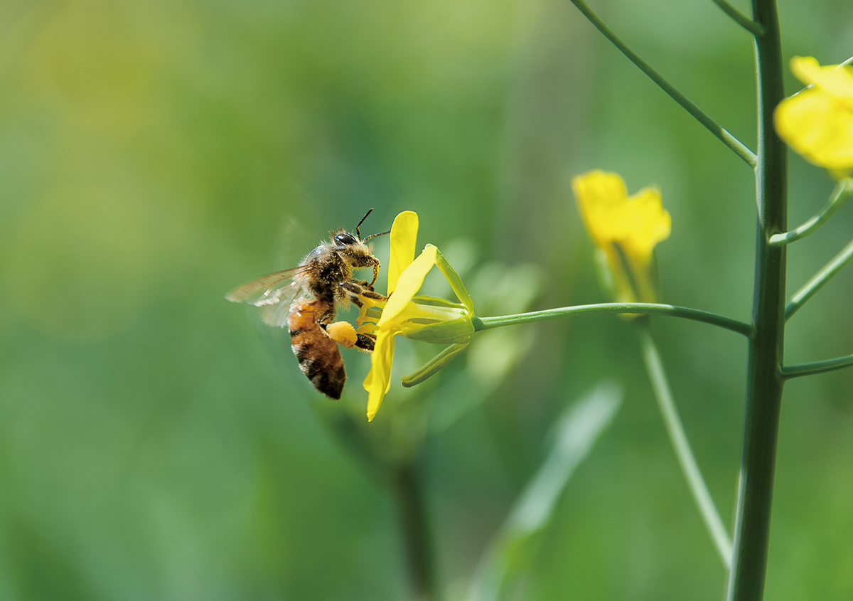 【国産蜂蜜】八王子産の純粋蜂蜜 「green honey」について