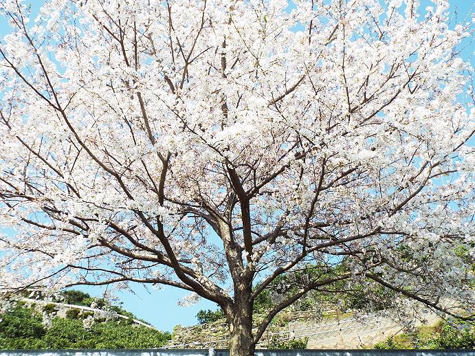 日の丸みかん産地も桜が満開です。