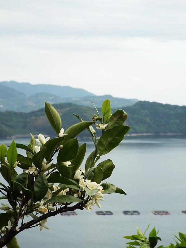 みかんの花が満開で山を彩っています。