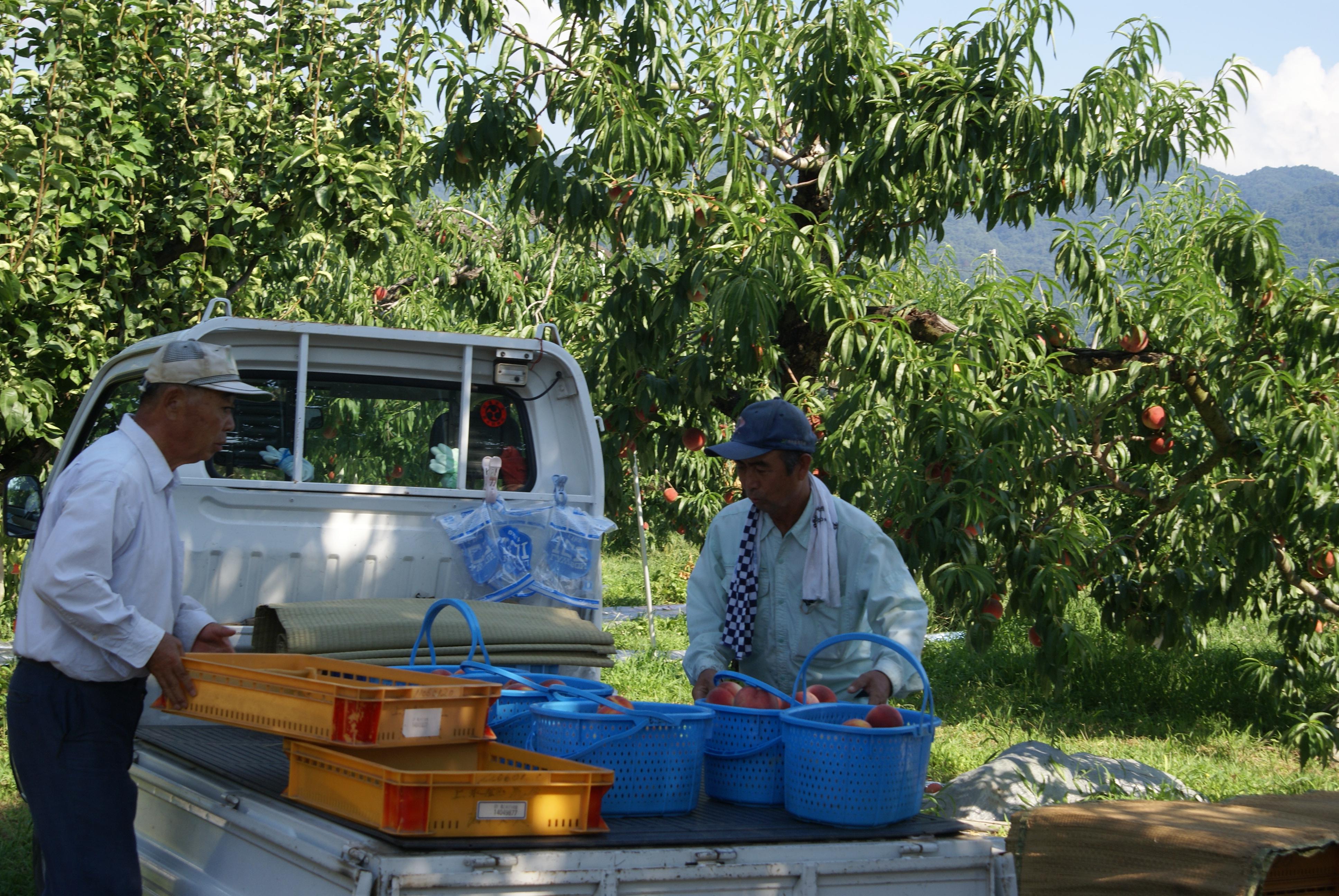 桃の収穫 早生のたまきに続きまして!いよいよ川中島白鳳が!
