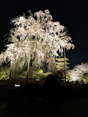京都発、東寺と桜。