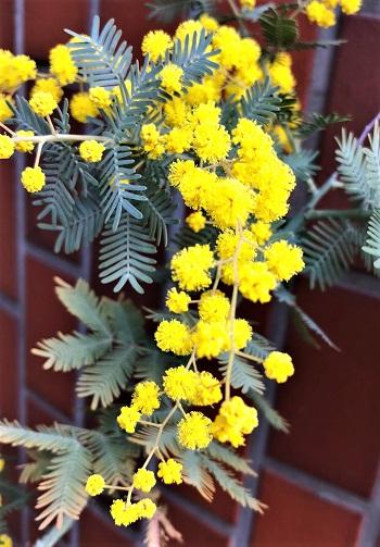 春の花、ミモザ発見。