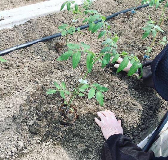 室原ハウスへの苗の植え付け❗️