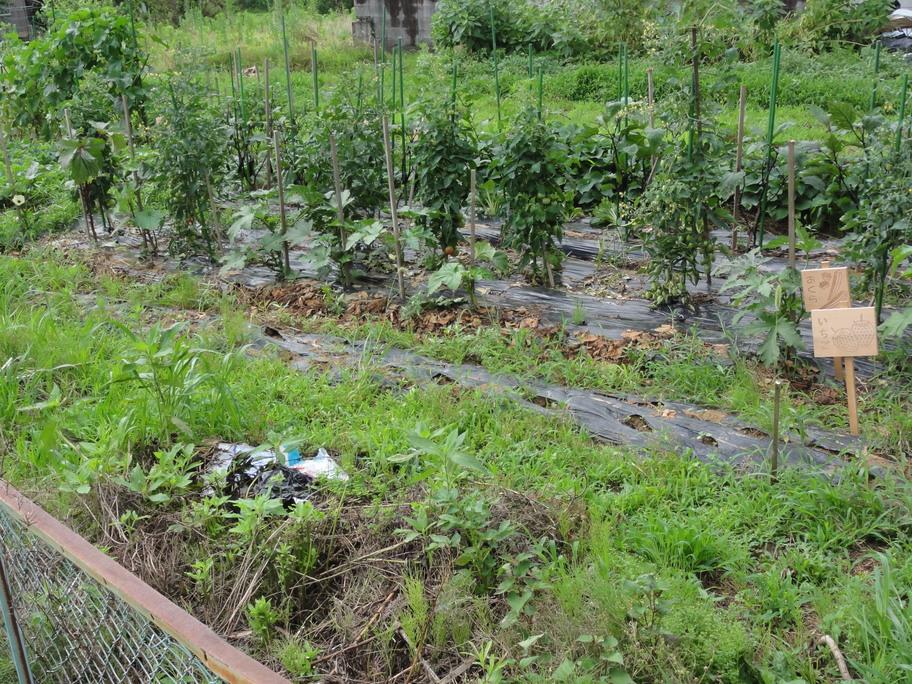 畑のスイカ、ナス、プチトマト