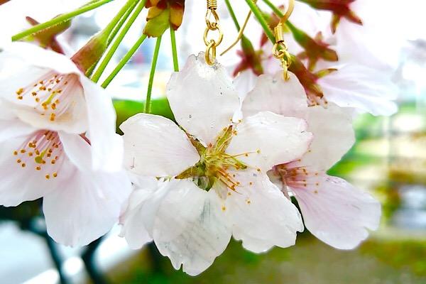 生花からできたアクセサリー!!新ブランド『Floralia フローラリア』の桜ピアス/イヤリング