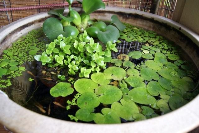 ビオトープ 水生植物を上手に育てる