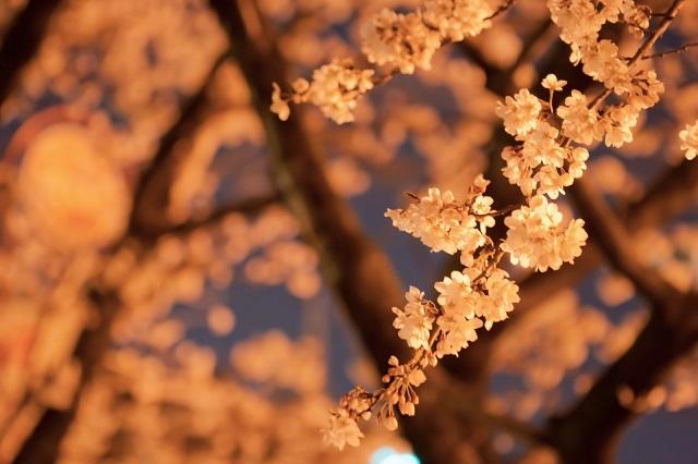 夜桜を見ながら南アフリカを想う、お花見にぴったりなランプ