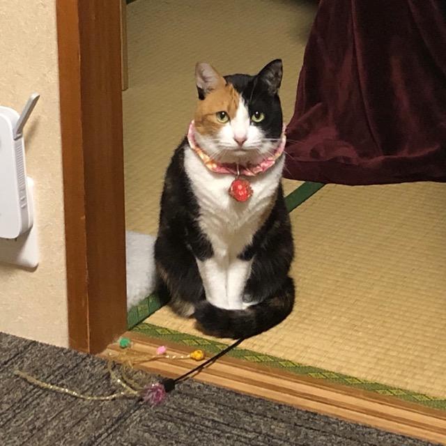 【三毛猫ゆいのいる暮らし /  Yui's life at uchinoco shop.】