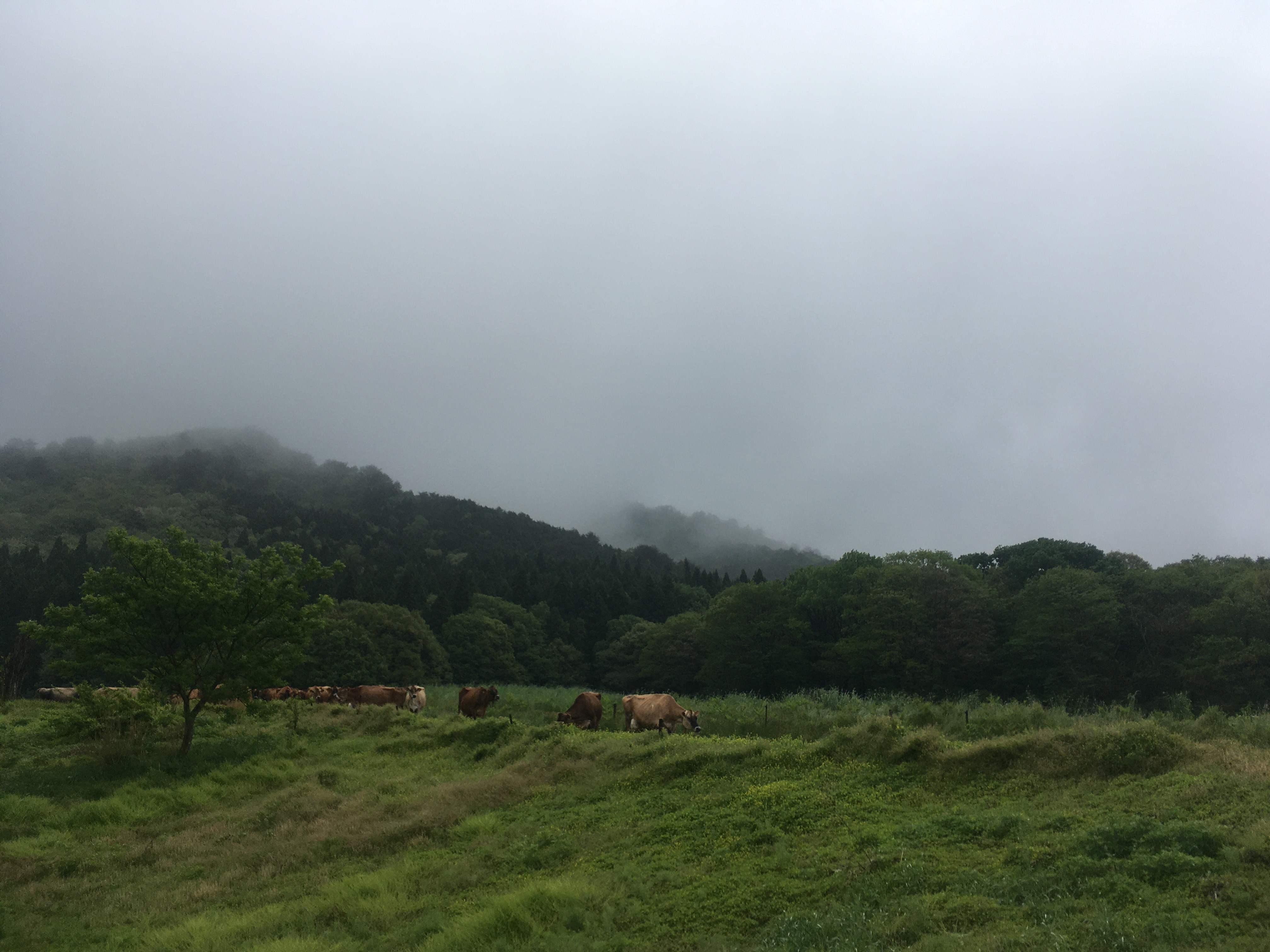 ジャージー牛放牧始まりました