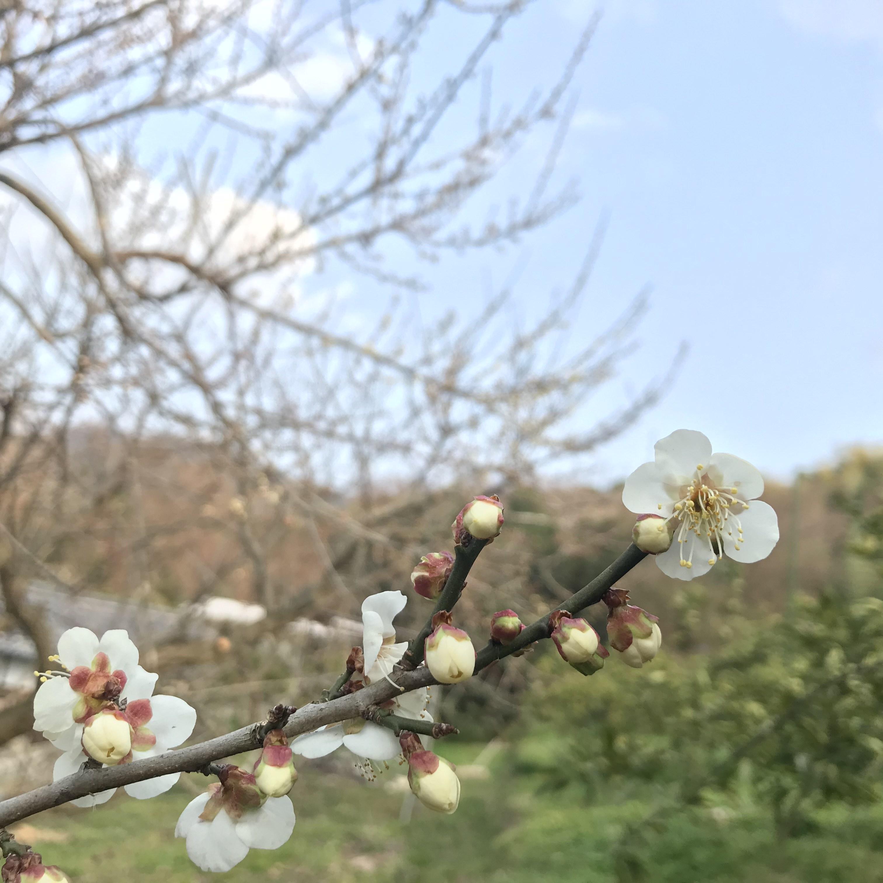 梅の花が咲いたよ!