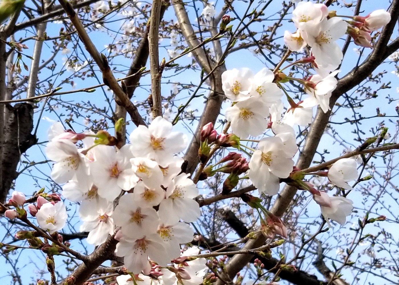 桜の開花が始まりました
