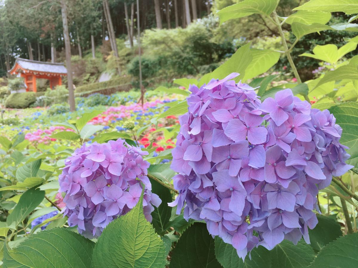 ことり散歩♪ 三室戸寺の紫陽花