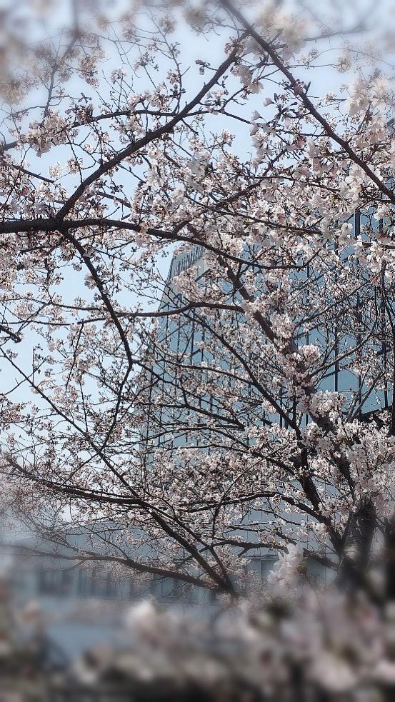 桜の季節♪