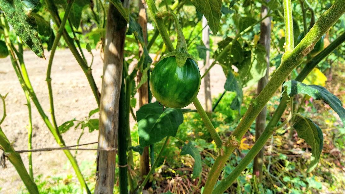 ジロナスの収穫がそろそろ始まります!