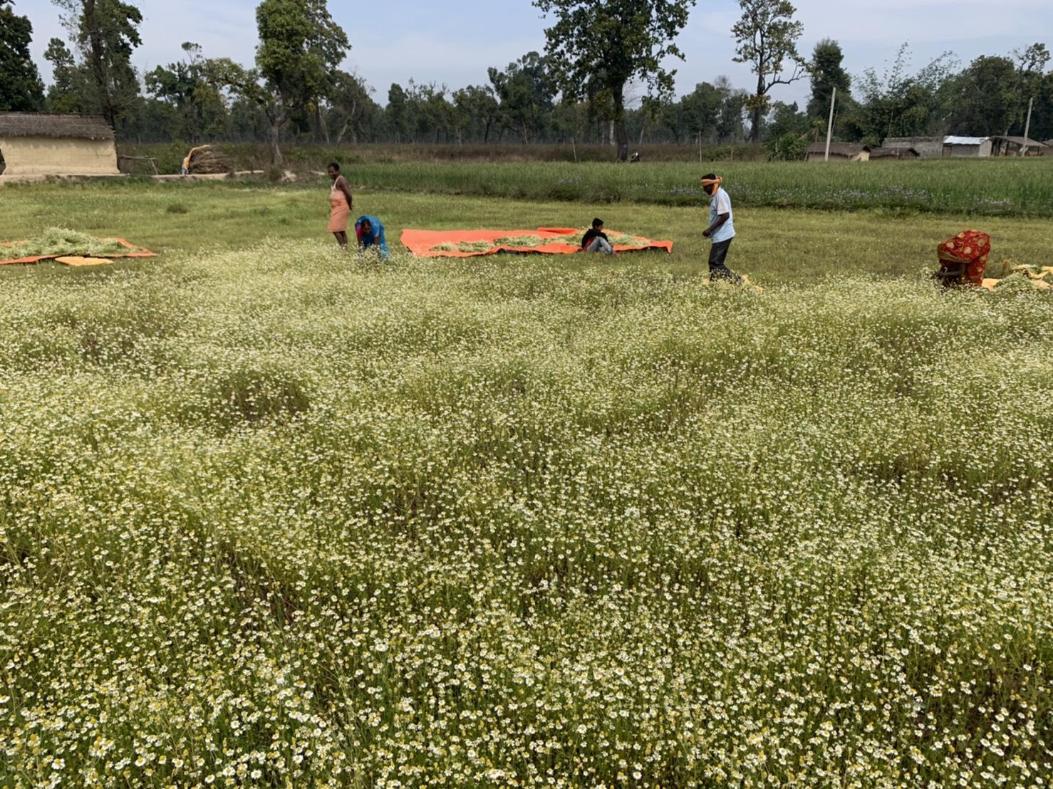 ネパールの農園