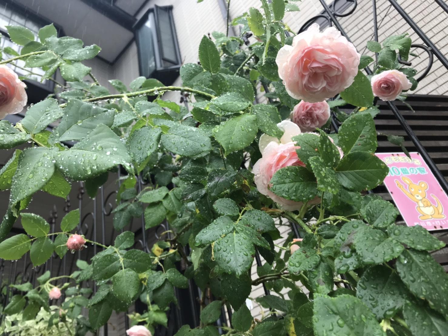 店前のバラが咲き始めました!