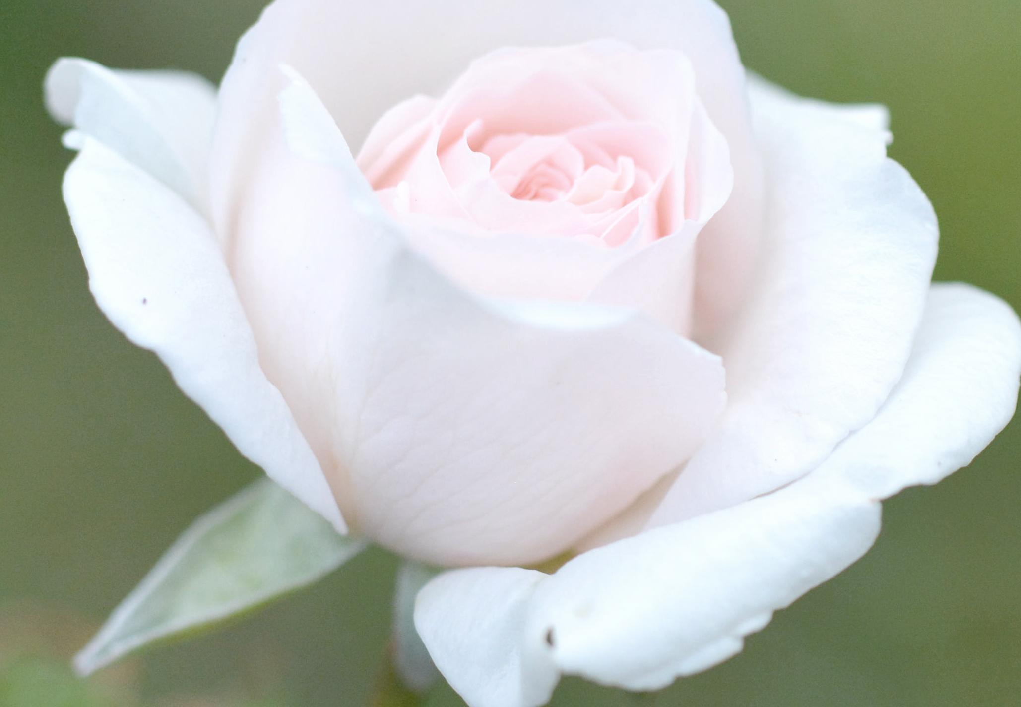 母の日ギフト。お母さんの胸元に白いバラを贈りませんか?〜いつまでも美しい白磁のブローチ〜