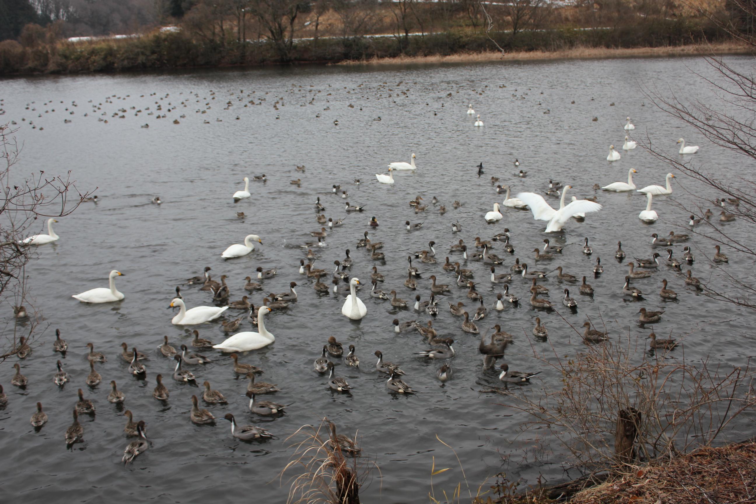 白鳥の湖へ・・・