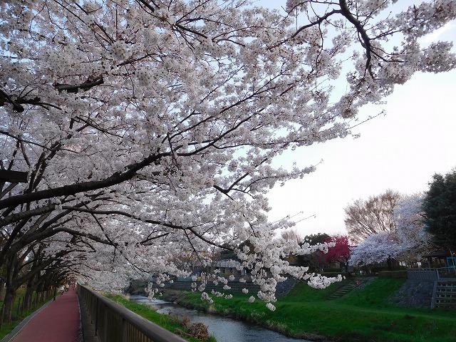 桜の花に心よいしれて
