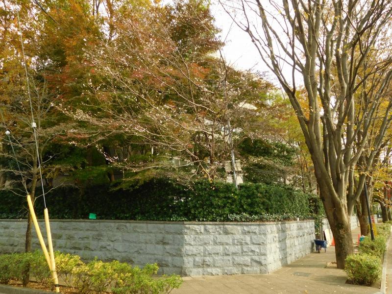 10月桜ともいえども、4月上旬頃と10月頃の年2回開花します。