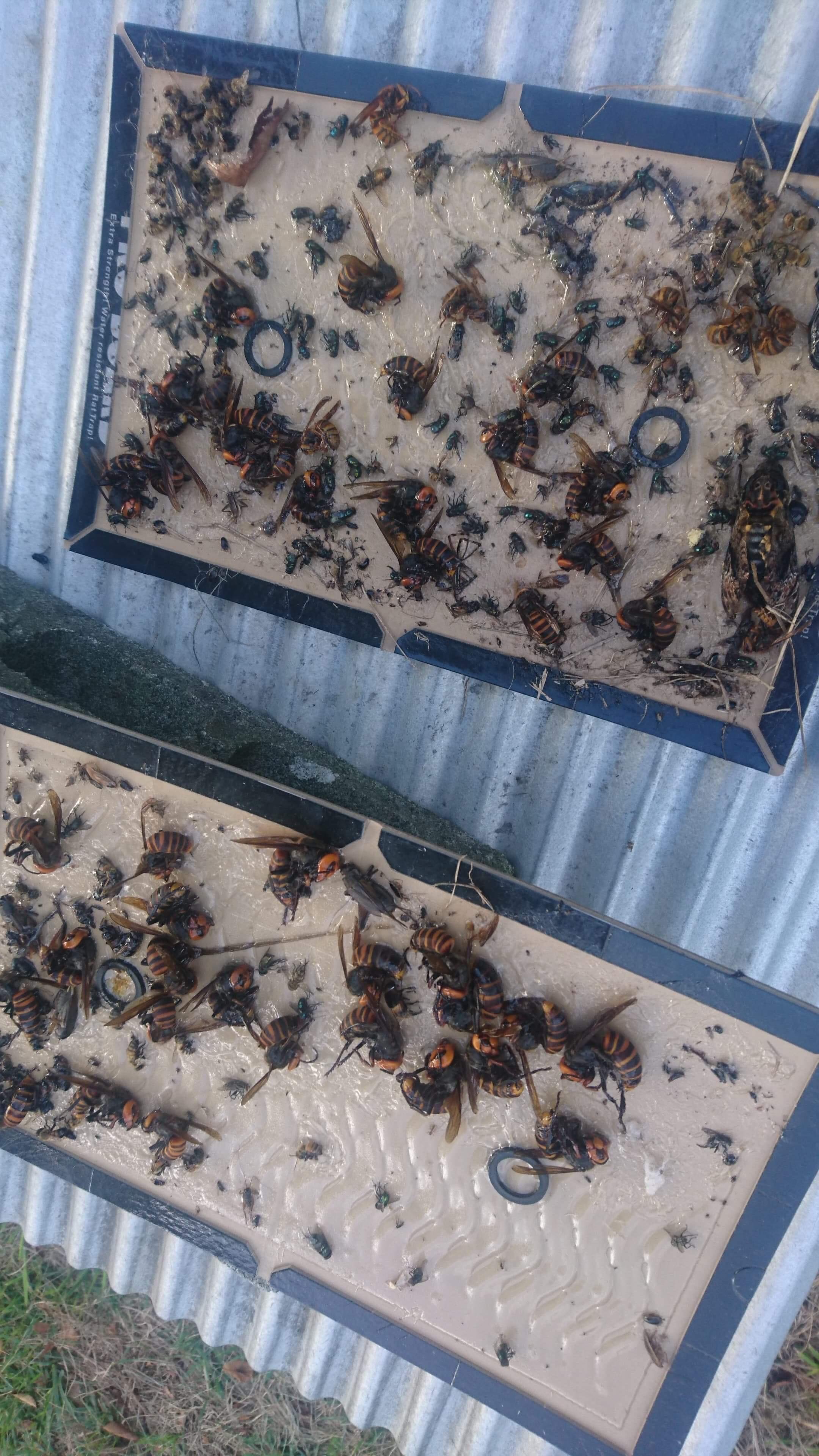 スズメバチ退治の日々