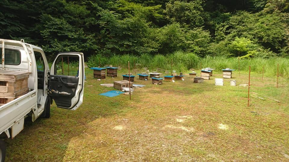 今年のシーズン最後の蜜源 からすざんしょう の蜜が吹き始めました。