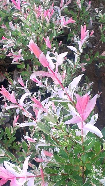 """イヌコリヤナギ """"白露錦(ハクロニシキ)"""":新芽が淡桃色と白斑に染まる、美しくて育て易い庭木"""