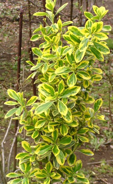 キフクリンマサキ(黄覆輪柾):濃緑色の葉を黄金色の斑が縁取る、育て易くて通年美しいカラーリーフ
