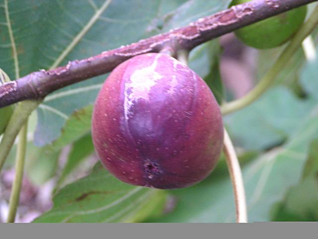 イチジク(無花果):大きな葉と、甘くて美味な果実が特徴の、昔から愛されてきた庭先果樹