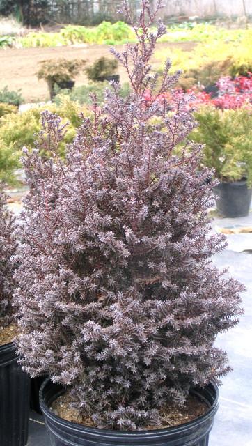 """ヌマヒノキ """"レッドスター(パープルフェザー)"""":冬に美しい赤紫色に染まる、綺麗な樹形のコニファー"""