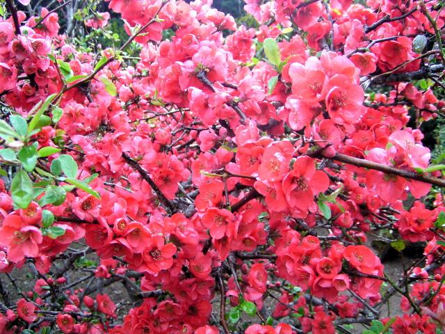ボケ(木瓜):美しく花付きの良い花と、香りの良い果実が特徴の、昔から親しまれてきた花木