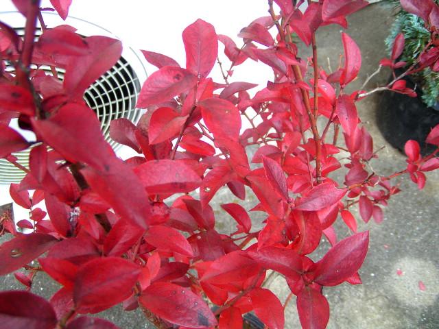 美味しい果実だけではない!ブルーベリーの美しい紅葉でも目の保養を!