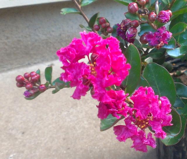 サルスベリ(百日紅)【チカレッド】:夏から初秋に掛けて鮮やかな紅色の花を咲かぜ続ける、矮性サルスベリ