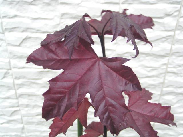 """ノルウェーカエデ """"ロイヤルレッド"""":赤紫色の新芽と暗紫色の葉がお洒落なヨーロッパカエデ"""