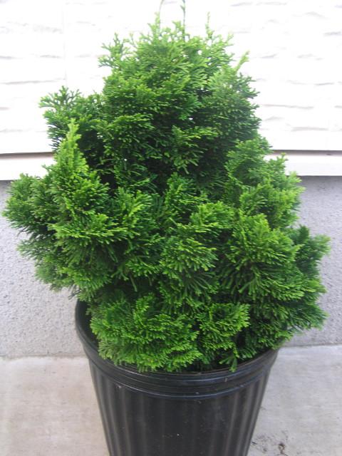 """ヒノキ """"オパール"""":極めて成長が遅く、丸っこい緑色に育つ、可愛らしい矮性コニファー"""