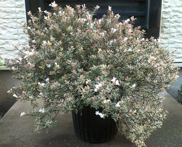 """アベリア """"コンフェティ"""":クリーム色の覆輪と白く小さな花を長期間楽しめる、丈夫で美しい低木"""
