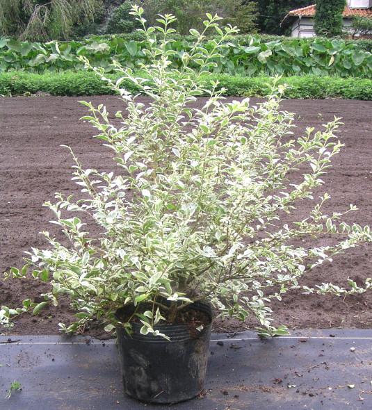 """セイヨウイボタノキ """"シルバープリペット"""":白覆輪の葉と白花が美しい強健な庭木"""