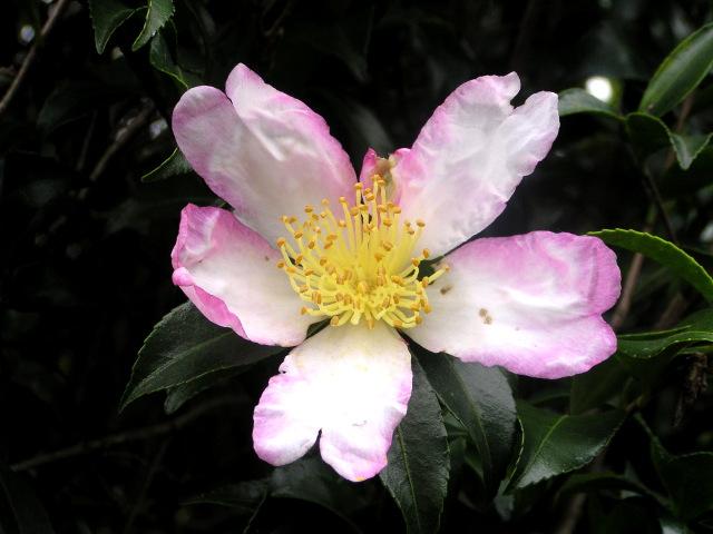 サザンカ(山茶花):美しい花が初冬の庭を彩る、古くから愛されてきた丈夫な花木
