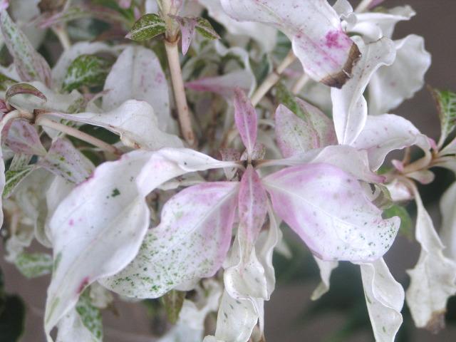 """斑入りヤマボウシ""""七変化"""":白色掃込み斑と濃桃色の斑入り紅葉が時節に合わせて移ろう、まさに【七変化】"""