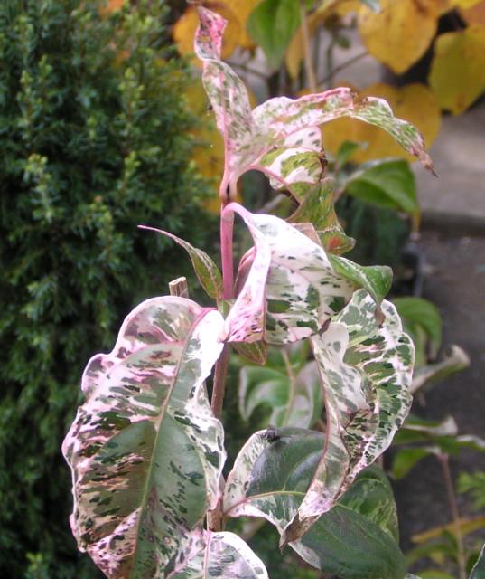 斑入りヤマボウシ【七変化】の紅葉の始まり